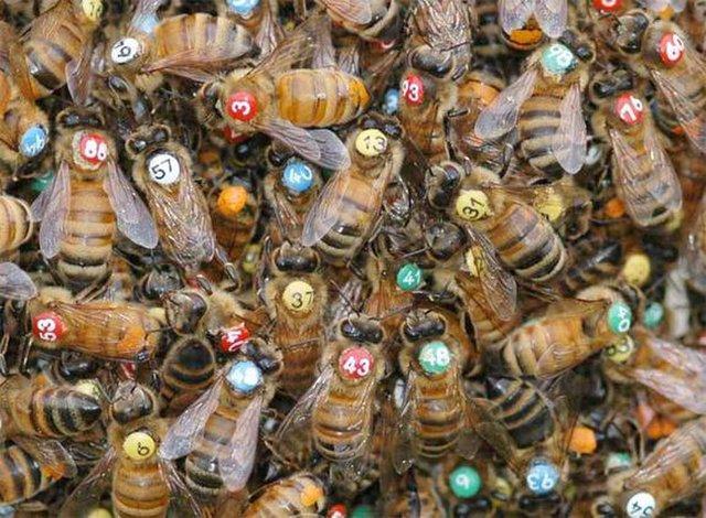 행동 연구를 위해 연구자들은 꿀벌 하나하나를 번호로 표시하기도 한다. [중앙포토]