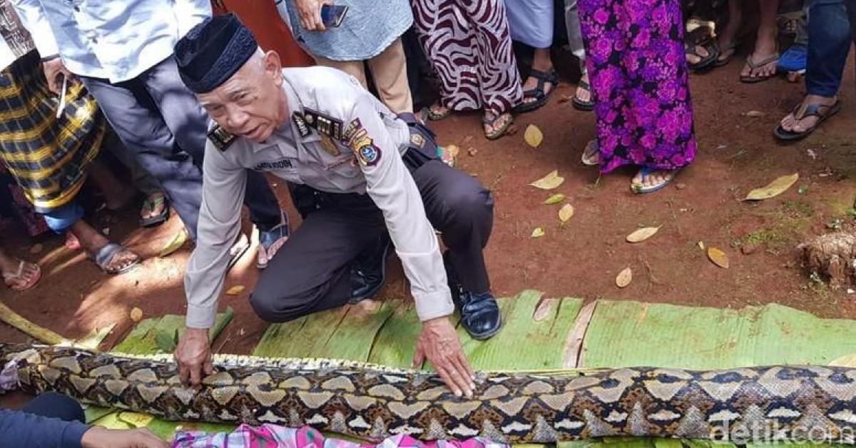 15일(현지시간) 인도네시아 동남 술라웨시 주 무나 섬에서 현지 경찰 당국자가 50대 여성을 삼켜 숨지게 한 비단구렁이의 몸길이를 재고 있다. [사진 데틱닷컴 홈페이지 캡처=연합뉴스]