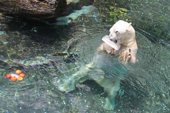 국내 유일 24세 북극곰 '통키'의 마지막 여름