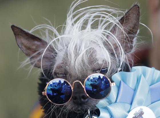 23일(현지시간) 미국 샌프란시스코 소노마 마린에서 열린 세계에서 가장 못생긴 개 대회에 참가한 '라스칼 듀스( Rascal Deux). [AP=연합뉴스]