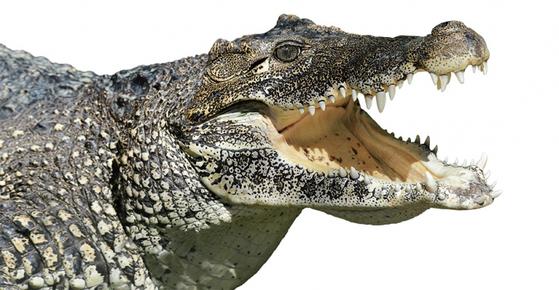 식성·서식지 선정이 까다롭지 않고 막강한 면역력을 갖춘 악어는 2억년 넘게 살아남았다. / 사진:ⓒ gettyimagesbank