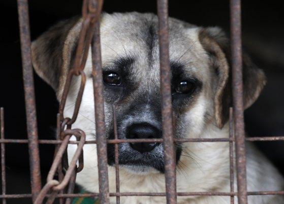 10일 오후 경기도 남양주시의 한 식용견 농장에서 도살을 앞둔 개들이 구조의 손길을 기다리고 있다. [뉴스1]