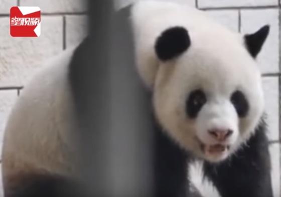 중국 우한시 동물원에 있는 판다 웨이웨이. 코 부분이 헤져 분홍 살이 드러나 있다. [사진 유튜브 캡처]