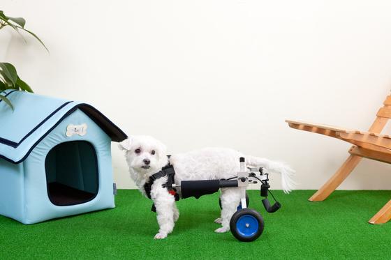 뒷다리 마비, 근력 약화 등에 사용하는 맞춤형 휠체어.