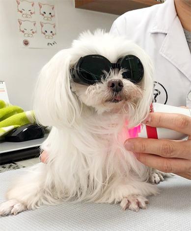 관절 레이저 치료 중인 강아지.