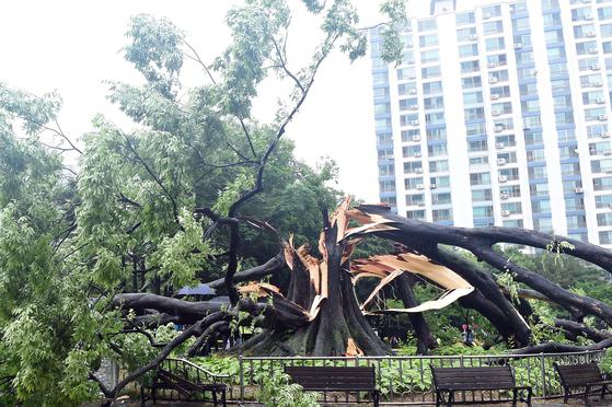 지난달 26일 장맛비에 부러진 경기도 수원시 영통구의 수령 530년 넘은 느티나무 . [사진 수원시]