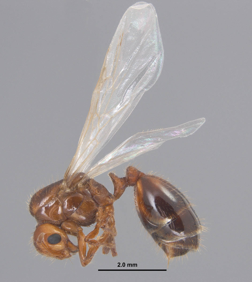붉은불개미 공주개미
