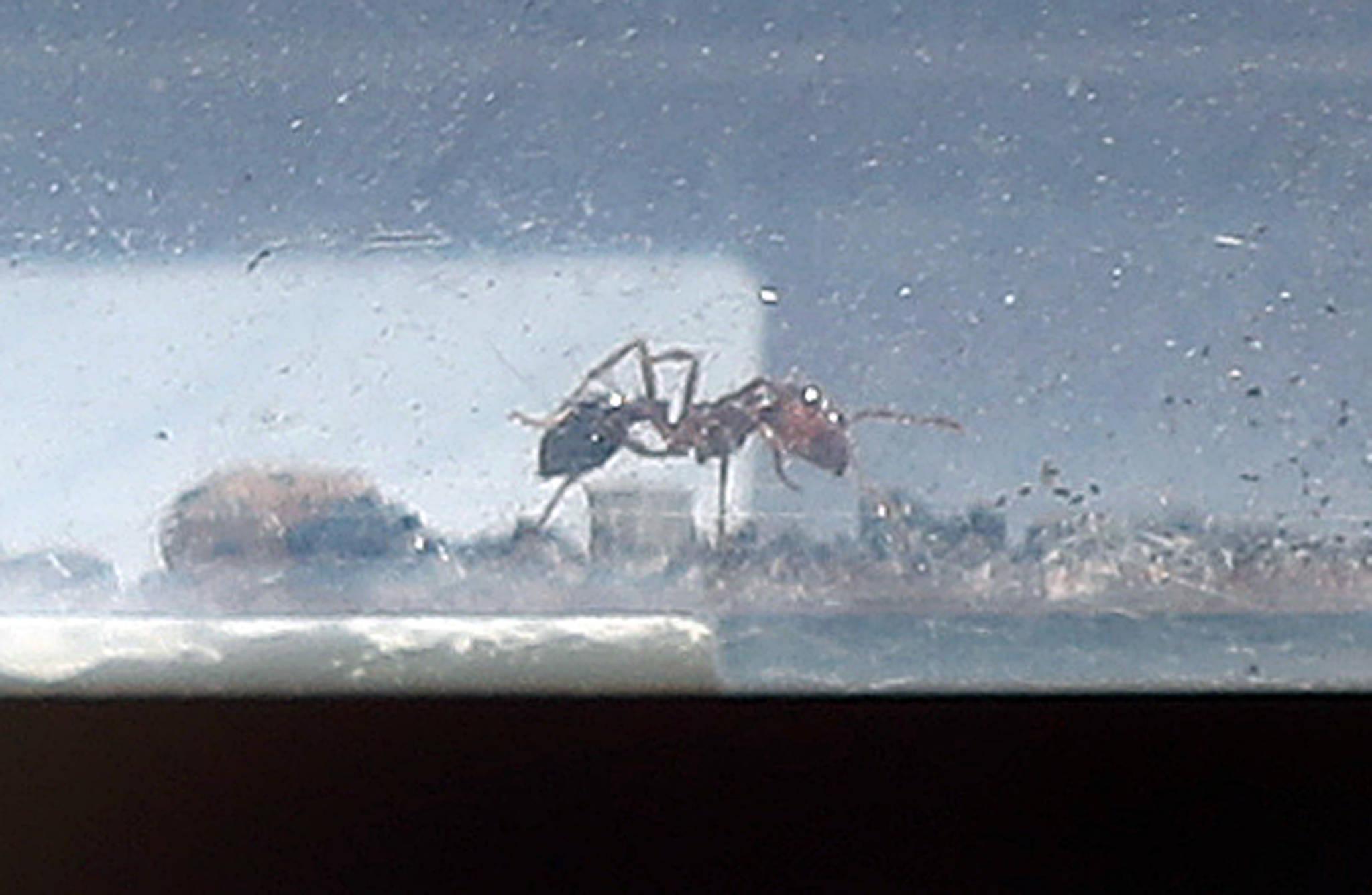 7일 오후 인천시 중구 인천컨테이너터미널에서 농림축산검역본부 관계자가 포집한 붉은불개미.[연합뉴스]