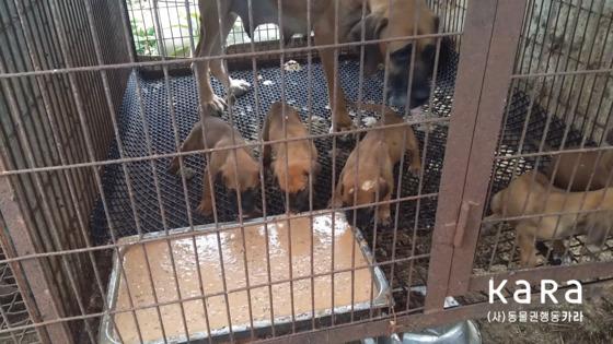 개 농장에서 강아지들이 음식쓰레기로 만든 습식 사료를 먹고 있다. [사진 카라]