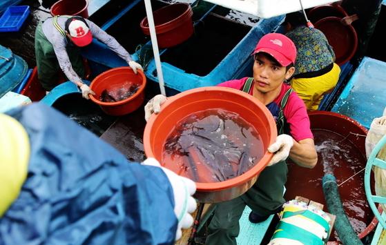 충남 태안 근흥면 신진도항에 입항한 오징어잡이 배에서 선원들이 살아 있는 오징어를 조심스레 활어차로 옮기고 있다. [사진 태안군]