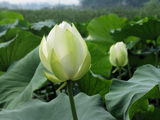 연꽃은 진창에 고고하게 피어나는 꽃이다. 열악한 환경에도 불구하고 좋은 결실을 맺는 것에 비유된다. [사진 김순근]