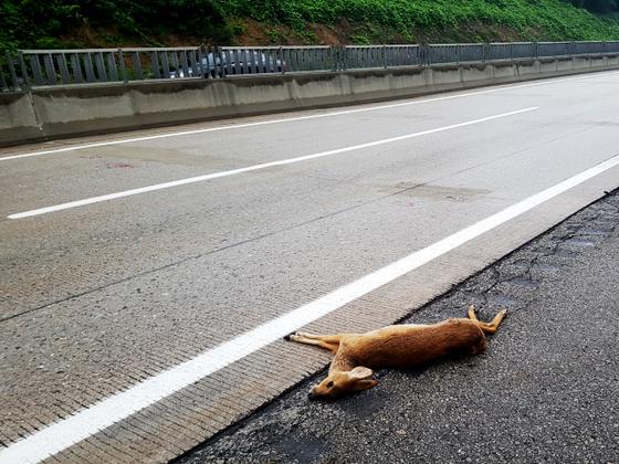 중앙고속도로에서 로드킬 당한 고라니. [사진 한국도로공사]
