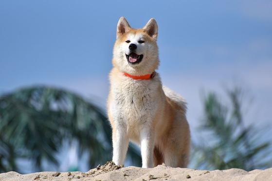 일본 토종 견종인 아키타종 개. [위키피디아]