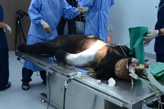 지난 5월 지리산을 벗어났다가 교통사고를 당한 반달곰이 복합골절수술을 받고 있다. [종복원기술원]