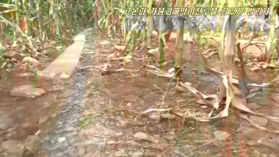 북한에서도 폭염이 지속되면서 황해남북도를 비롯한 각지의 농작물이 피해를 보기 시작했다고 조선중앙TV가 2일 보도했다. 사진은 중앙TV 영상 속에서 폭염으로 말라가는 옥수수밭에 물을 대고 있는 모습. [연합뉴스]