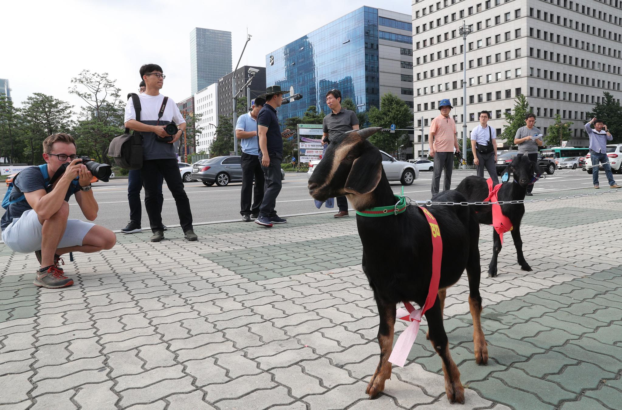 캐나다 관광객이 국회 앞에서 집회에 나온 염소를 촬영하고 있다. 임현동 기자