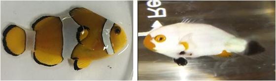 왼쪽은 만화영화 '니모를 찾아서'에 나와 친숙한 일반 흰동가리, 오른쪽은 희귀한 종류인 백작 흰동가리. 희귀 개체 중 몸 전체가 대부분 흰색을 띄는 개체를 국내에서는 '백작 흰동가리'라고 부른다.[사진 해양수산부]