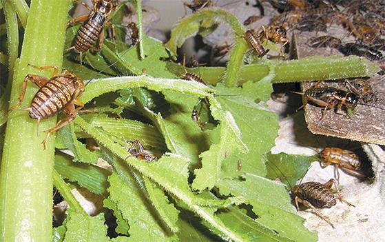 지난달 이삼구 대표의 귀뚜라미 대량 사육 연구동에서 귀뚜라미들이 호박잎을 먹고 있다. [조강수 기자]