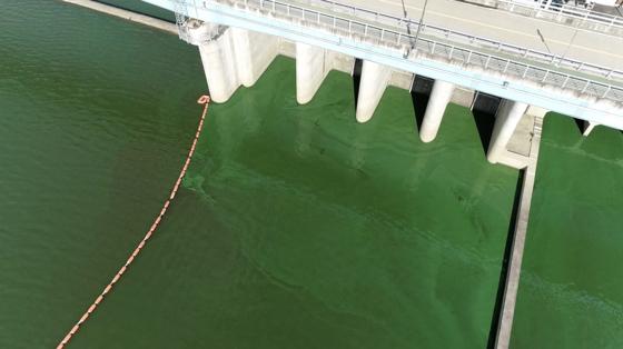 13일 경남 함안군 창녕함안보의 낙동강에 발생한 녹조. 초록색 페인트를 풀어놓은 것 같다. [사진 먹는물부산시민네트워크]