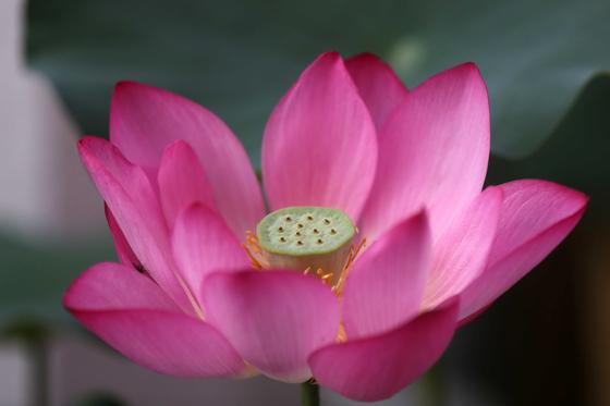 조계사 연꽃