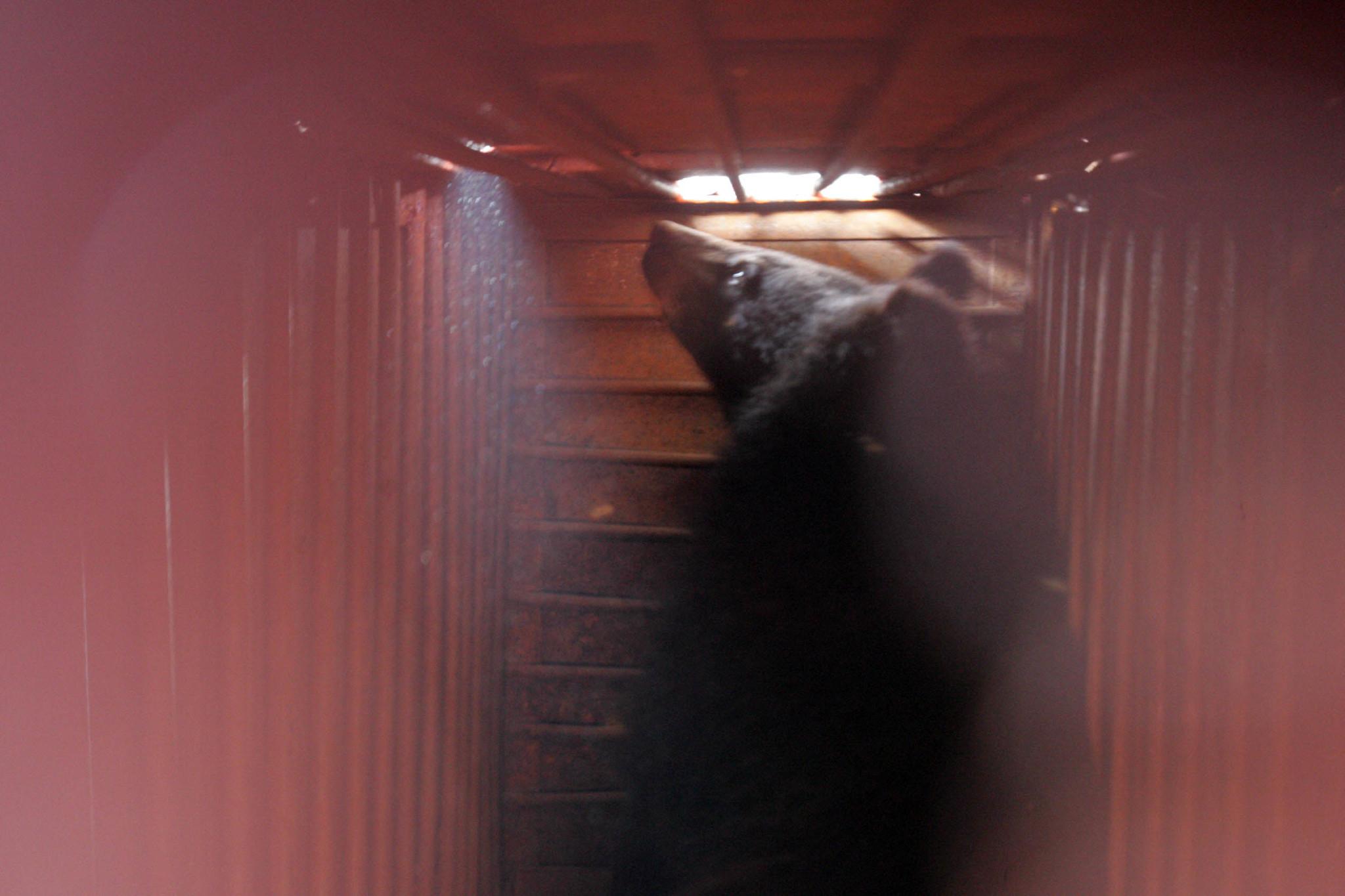 2005년 4월 도라산 출입국관리사무소를 통해 남한으로 넘어온 북한산 반달곰이 검역을 받고 있다. [중앙포토]