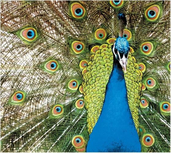 화려함을 자랑하는 수컷 공작새. 수컷의 꼬리가 길고 화려할수록 암컷의 짝짓기 선택을 받기에 유리하다고 한다. 화려한 꼬리는 수컷의 정력과 건강, 사회적 지위를 나타내는 진정한 지표라는 것이다.
