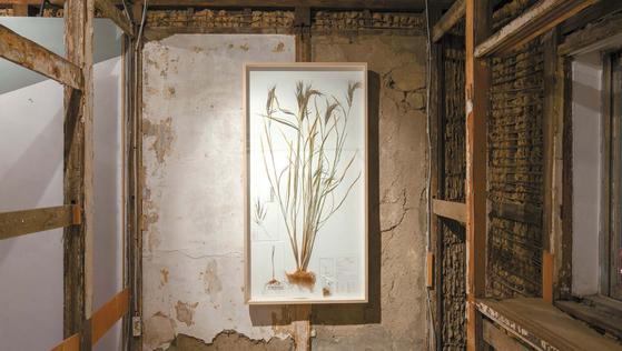 이소요 작가가 만든 토종 벼 '흑갱'의 표본. 작품 사이즈가 가로 83·세로 161cm로 토종 벼가 사람 키만하다.
