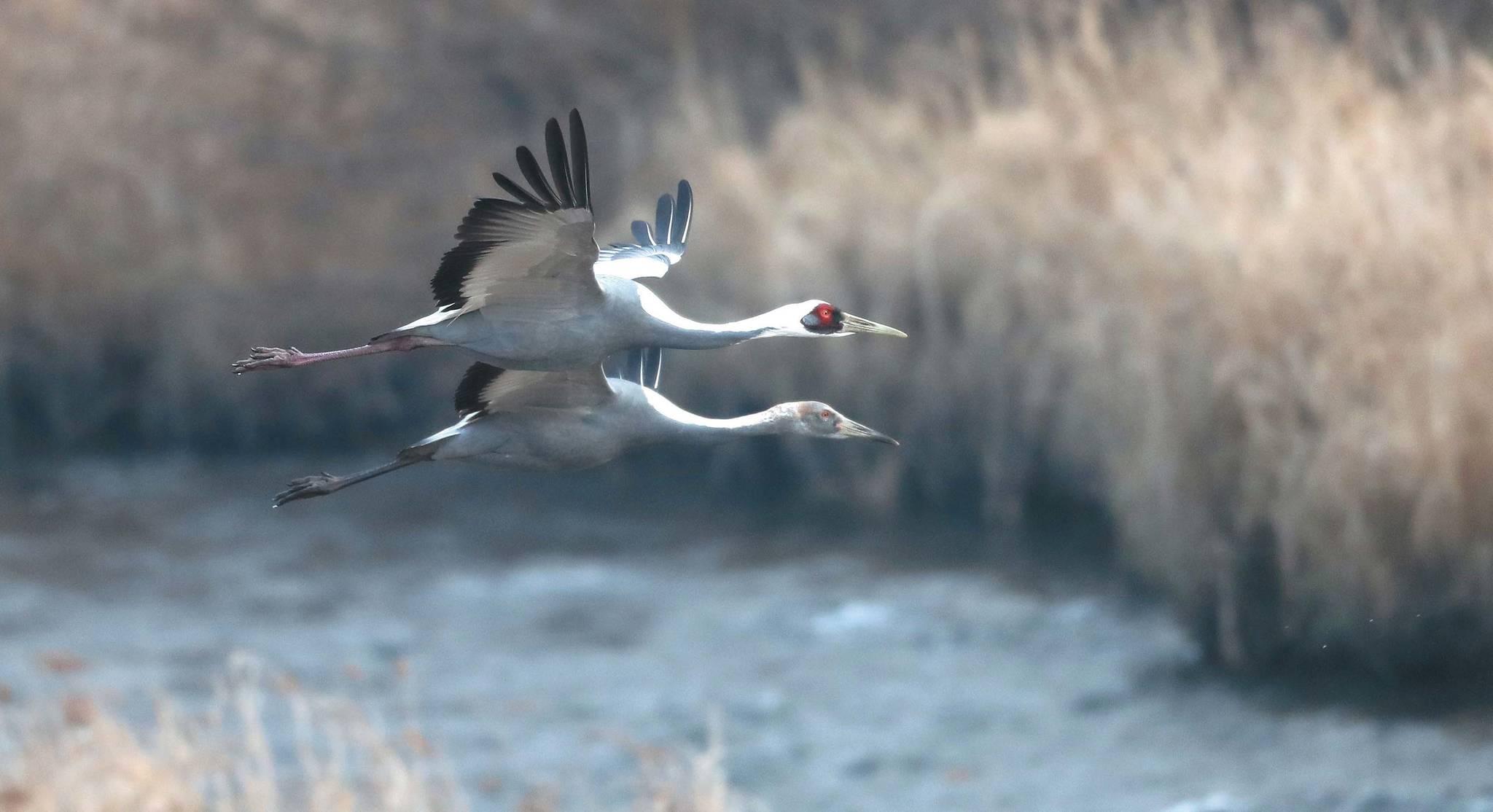 재두루미 어미와 새끼가 함께 한탄강 위를 날고 있다. 눈 주위가 붉은 게 어미다.