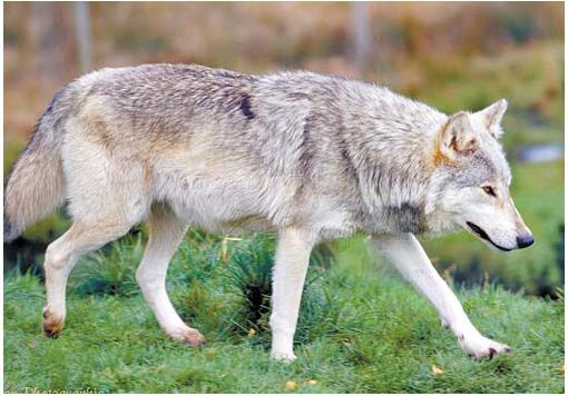 회색늑대(Canis lupus). 회색늑대는 개와 적어도 3만 년 전에 공통조상에서 분리되었다. 개(Canis lupus familiaris)는 갯과 개속에 속한 회색늑대 종 안에 속한 아종이며, 우리가 알고 있는 다양한 개의 종류는 품종에 해당한다.