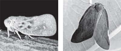 미국 선녀벌레(左), 갈색날개 매미충(右)