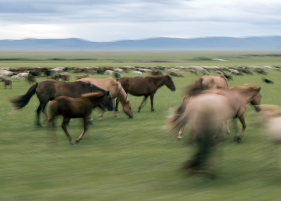 거침없이 초원을 내달리고 있는 몽골말. [사진 조용철]