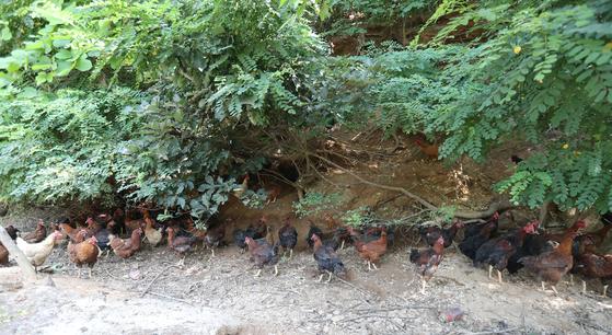 강원도 홍천 '달구와 낭구' 농장의 닭들이 한낮 기온이 올라가자 숲 그늘에 모여 더위를 피하고 있다. 5000평 산판에 닭 3000마리를 풀어놓고 키운다. 신인섭 기자