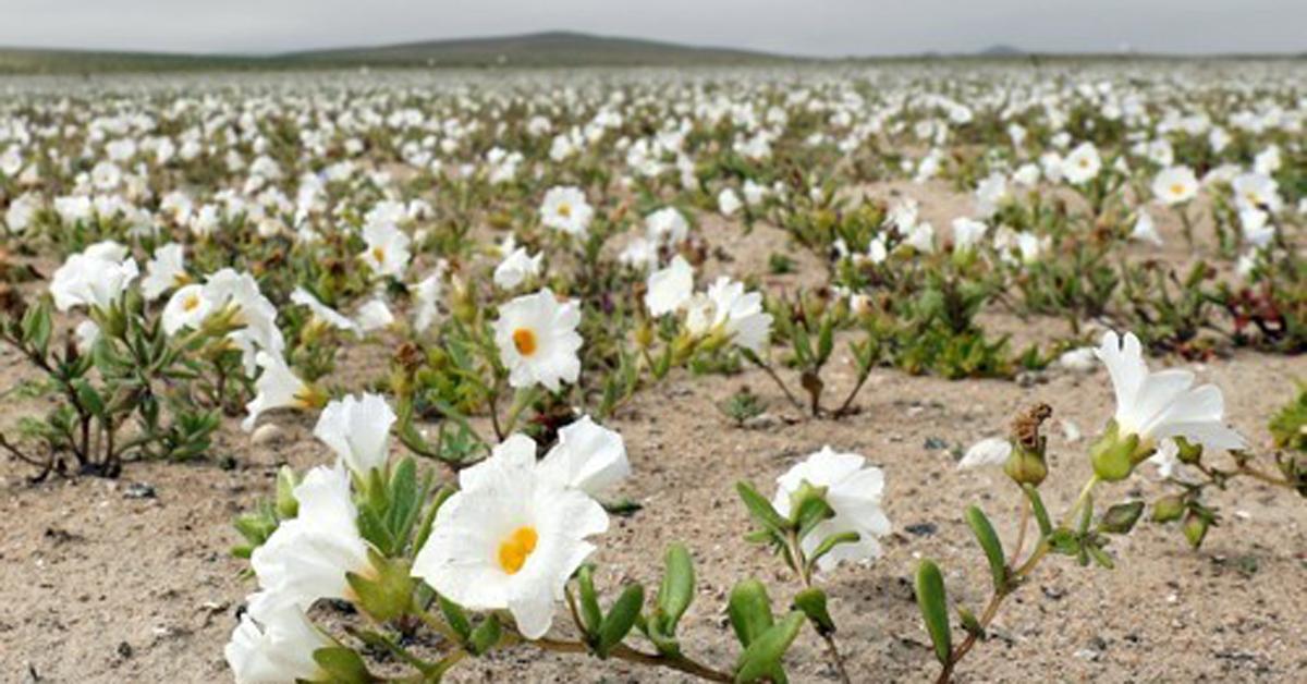 이상 기후로 '꽃밭'이 된 사막