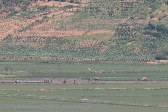 16일 북한 황해북도 개풍군의 농촌 풍경. 소가 쟁기를 끌고 있다. 〈사진=연합뉴스〉