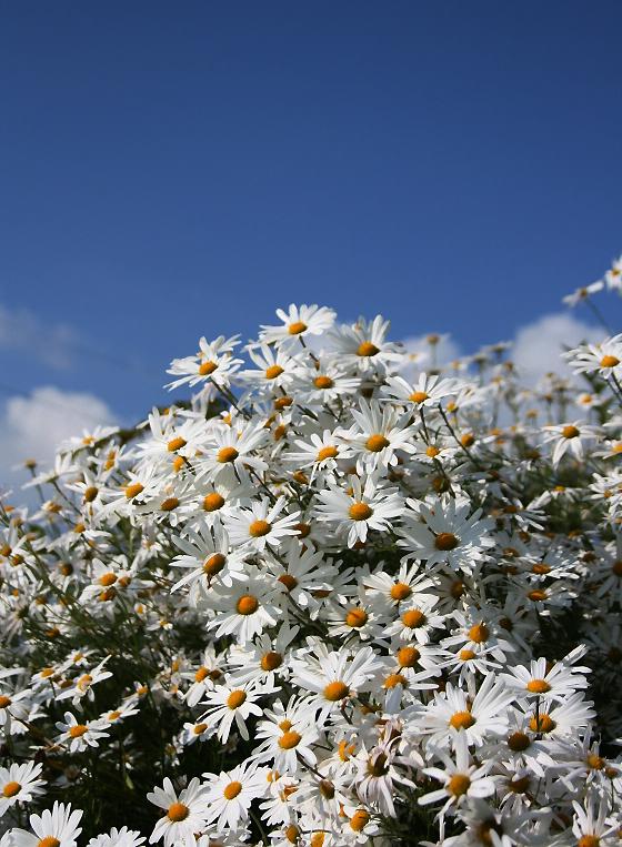 정원에 기르면 좋은 가을 들국화 '구절초'