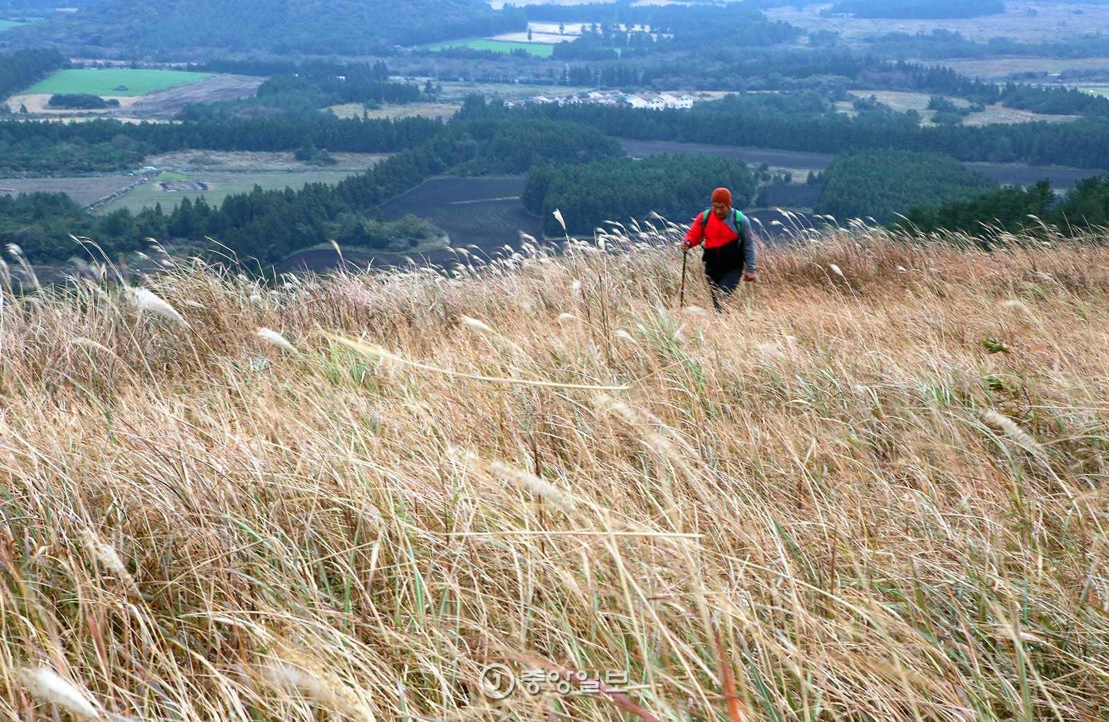 따라비오름 능선의 억새밭. 어른이 파묻힐 정도로 키가 크다.