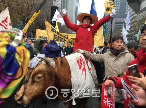 5차 촛불집회가 열린 광화문에 참가자들이 소를 끌고 나와 박근혜 대통령 퇴진을 외치고 있다. 박종근 기자