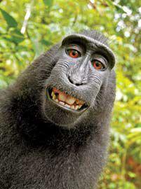 2011년 원숭이가 사진 작가의 카메라로 찍은 셀카가 인터넷에 퍼지자 저작권을 놓고 논쟁이 일었다.