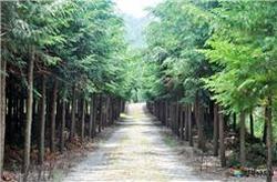 경북 영덕군 영해면 벌영리에 조성돼 있는 편백나무 숲. [사진 경북도]