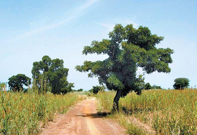 서아프리카 부르키나파소 공화국에서 야생하는 시어나무.