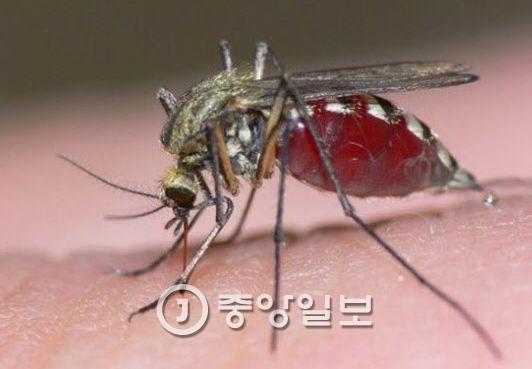 일본뇌염 옮기는 빨간집모기. [중앙포토]