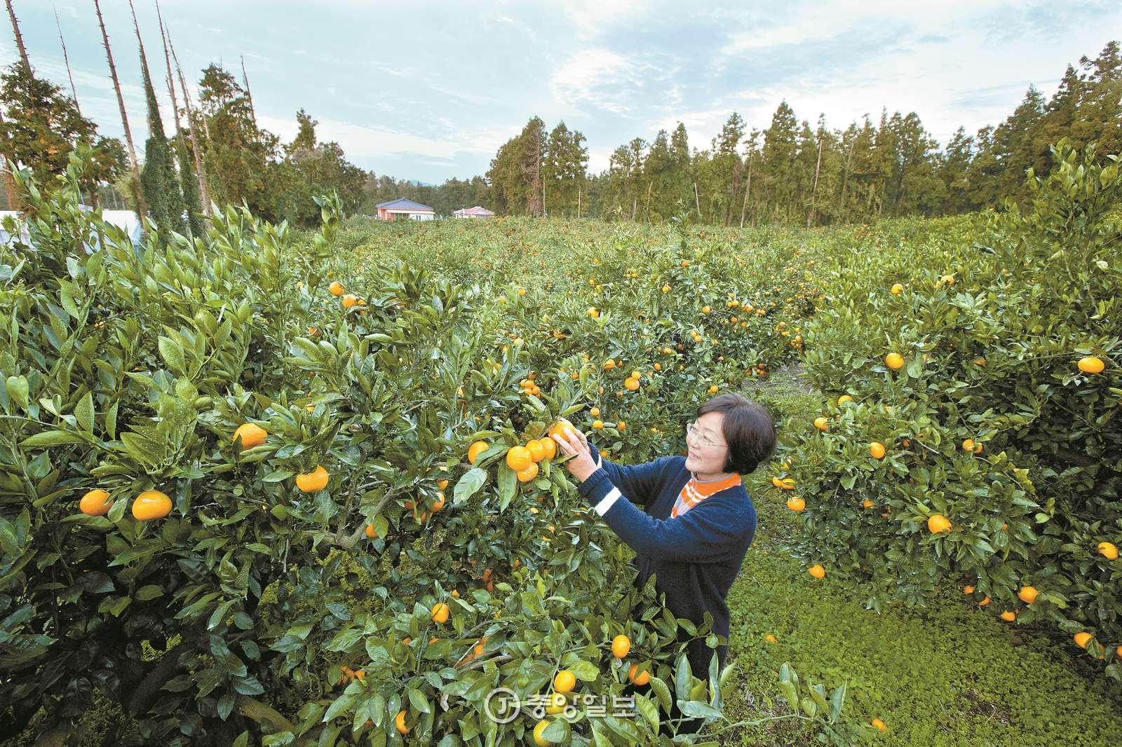 우리나라 밀감의 70%가 제주도 서귀포시에서 생산된다. 노란 밀감이 달린 귤나무 밭은 서귀포의겨울을 상징하는 풍경이다. 보기만 해도 싱그러운 귤 향기가 전해질 듯하다.