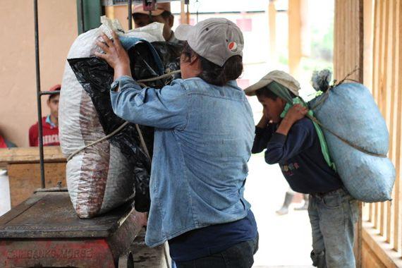수확한 커피의 무게를 재는 모습.