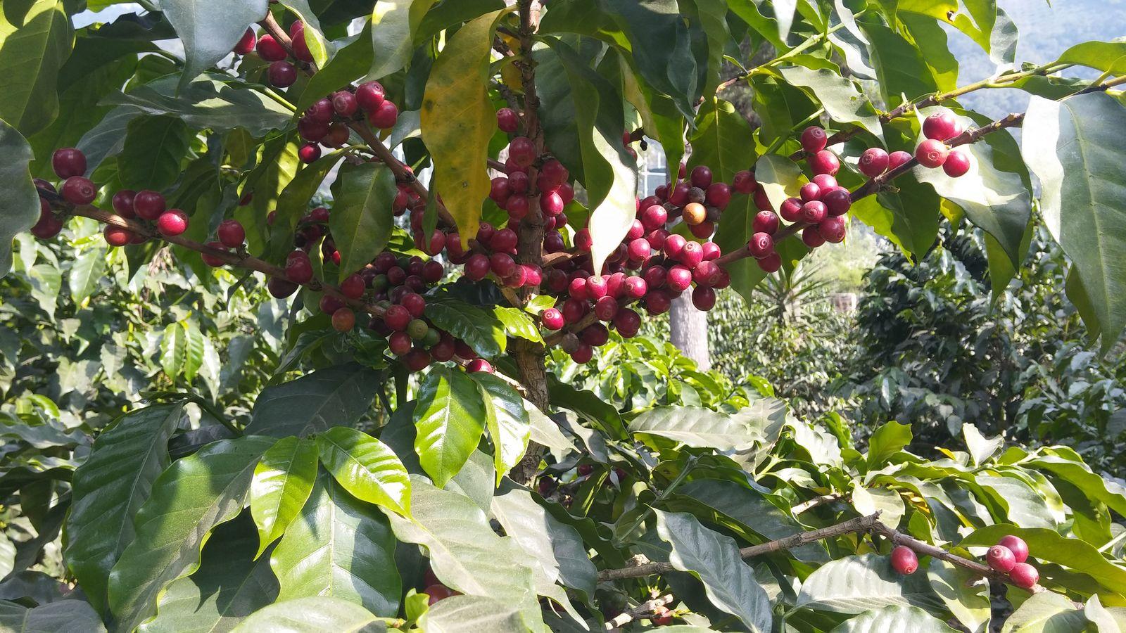 잘 익은 커피 열매.