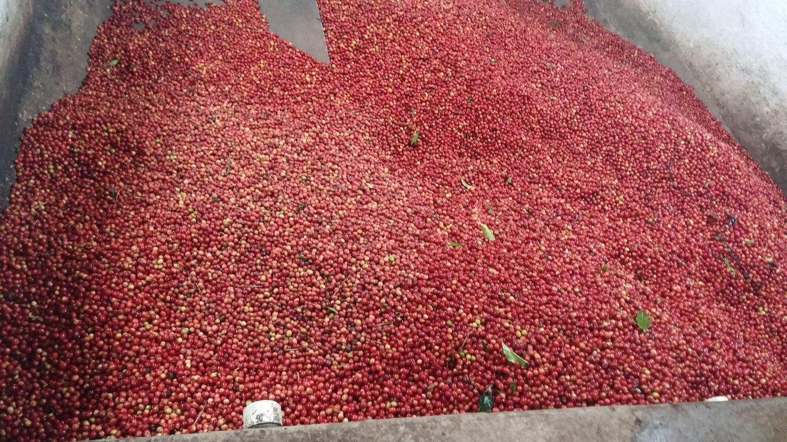 치코흐 커피농장에서 수확한 커피 열매.