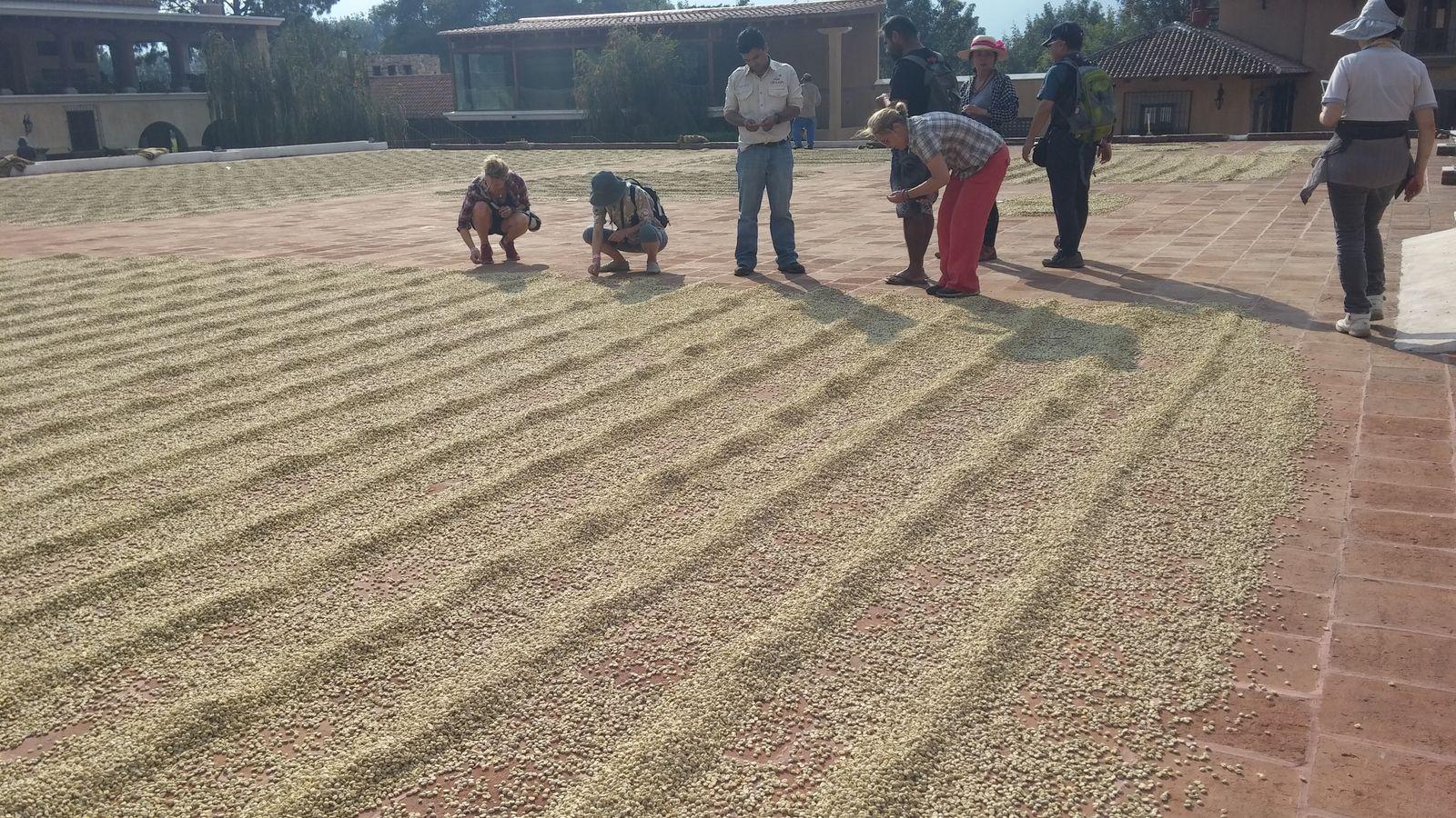 커피 콩을 햇볕에 말리는 과정.