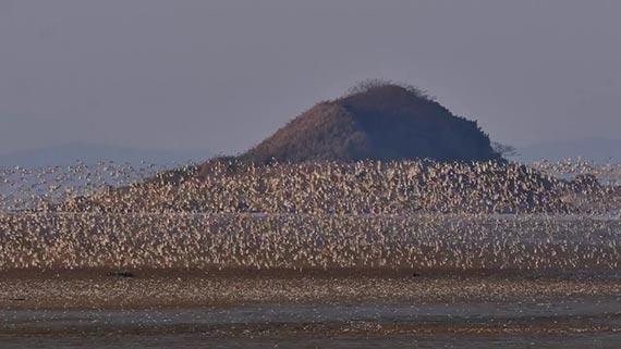 충남도와 서천군은 유부도의 유네스코 세계자연유산 등재를 추진한다. 유부도에는 39만마리의 철새가 몰려든다. 도요새 떼가 유부도를 뒤덮은 모습. [사진 서천군]