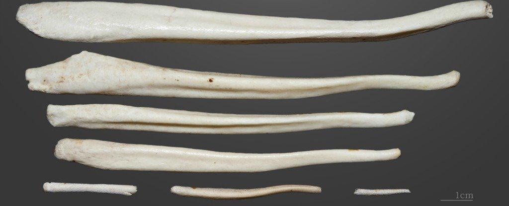 길이가 다양한 포유류 생식기의 뼈(penis bone) [Science]