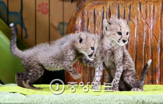 에버랜드는 지난해 7월 24일 오전 경기 용인시 에버랜드에서 국내 최초로 국제적 멸종위기종(CITES) 1등급인 '치타' 번식에 성공해 태어난 아기 치타 3마리를 공개했다. 이번에 태어난 아기 치타 3마리는 지난 6월 17일 암컷 치타 아만다(2011년생)와 수컷 치타 타요(2010년생)사이에서 태어났다.