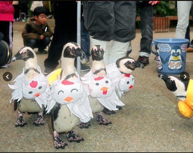 닭 캐릭터 복장의 아프리카 검은발 펭귄들이 테마파크 안에서 행진하고 있다. [사진 마쓰에 포겔파크]